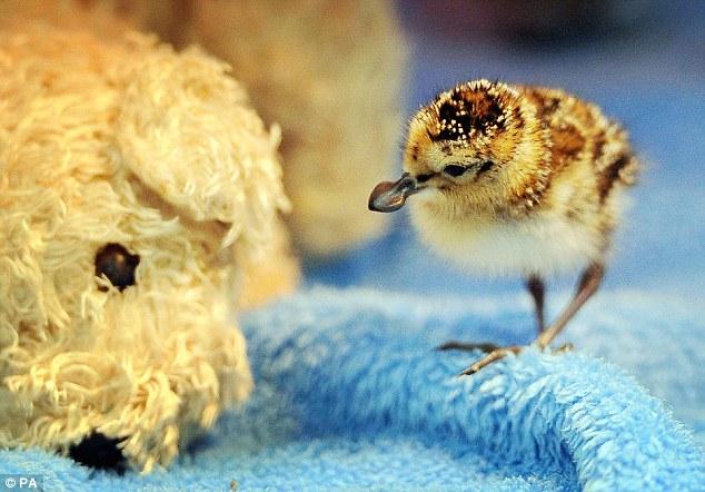 濒危勺嘴鹬首次在英国孵化成功