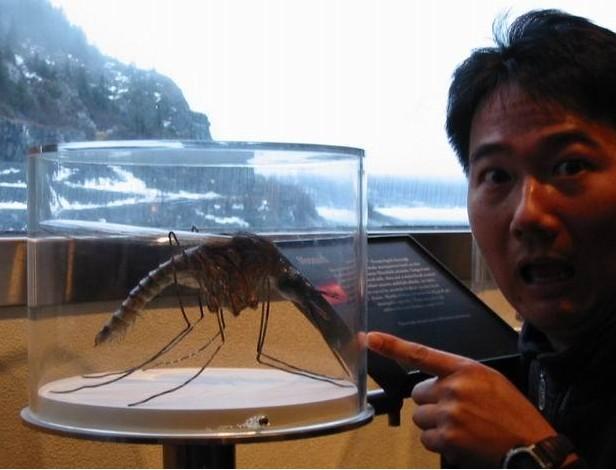 惊恐!这是世界最大的蚊子噢!不是龙虾…