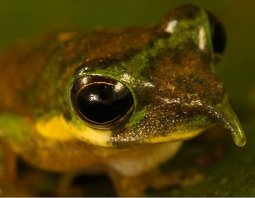 新奇的鼻树蛙和卖萌草莓蟹 奇闻趣事
