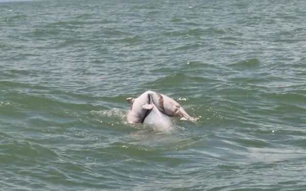 海豚妈妈驮死亡宝贝回家 世界奇闻