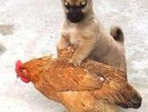好色小狗,光天化日蹂躏鸡(组图)