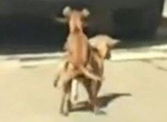实拍两狗当街爱爱激情劳累猝死 围观路人哭笑不得(视频及组图)