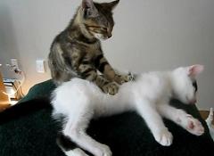 小猫为同伴按摩视频走红网络 引网民围观(组图)